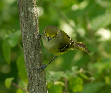 White-eyed Vireo  South Padre Island Texas 2012 03 21-2450.CR2
