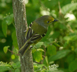 White-eyed-Vireo  South Padre Island Texas 2012 03 21-2449.CR2