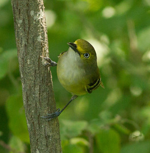 White-eyed Vireo  South Padre Island Texas 2012 03 21-2452.CR2