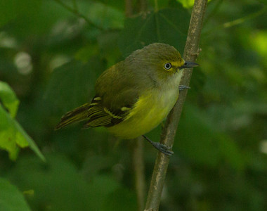 White-eyed-Vireo  South Padre Island Texas 2012 03 21-2458.CR2