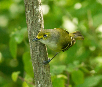 White-eyed Vireo  South Padre Island Texas 2012 03 21-2451.CR2