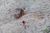 _IMG_8582 Virgin Island Hermit Crab