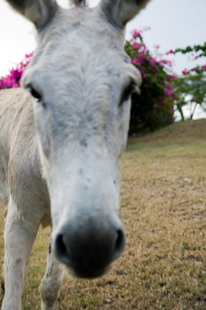 I think the donkeys outnumber the people on St. John....I fit right in!