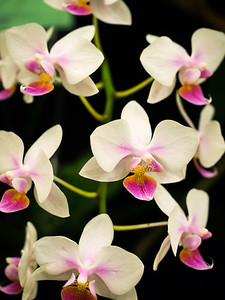 Orchid Show 2017
