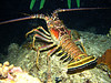 Some of the biggest lobsters I've seen diving....