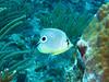 Foureye Butterflyfish.