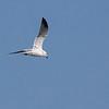 Bonaparte's Gull in flight at the boat landing on Marsh Trail.