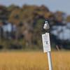 Bonaparte's Gull on NWR sign.
