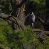 Great Blue Heron perched in large pine tree. Marsh trail.