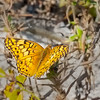 A Variegated Fritilary butterfly, near Sunset Beach.