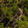Juvenile Yellow-crowned Night Heron near Marsh Trail.