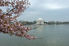Jefferson Memorial Cherry Blossoms 2