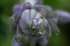 Hosta Blossom II