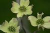Dogwood Blossom Trinity