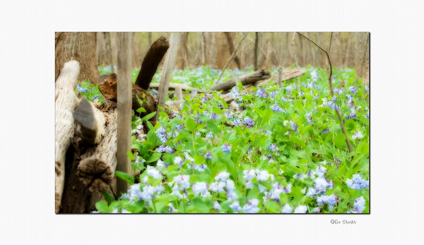 Blue Bells and fallen trees