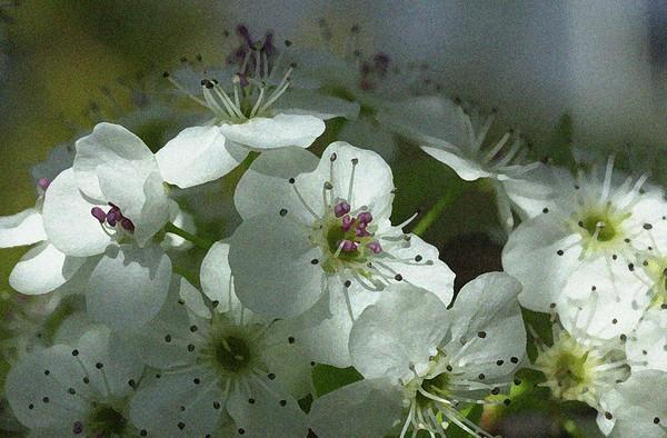 Pear Blossom right dry brush grain
