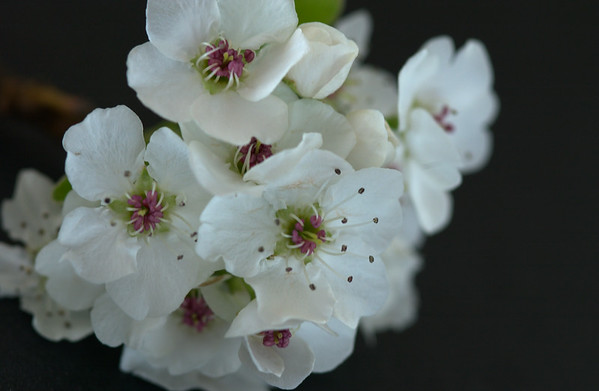 bradford pear blossoms black background 2