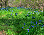 Bluebells on Catawba Creek, Fincastle, Va.