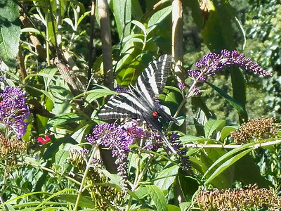 Zebra Swallowtail, August 2015