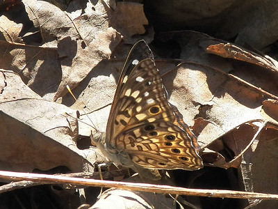 Hackberry Emperor, Virginius Island, August 2015