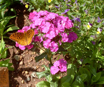 Great Spangled Fritillary, Monticello gardens, May 2006