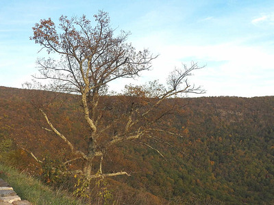 tree at Bacon Hollow overlook