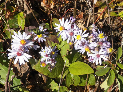 Aromatic Asters