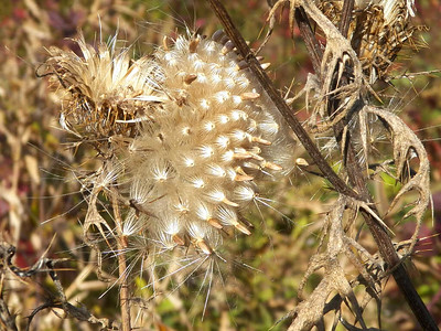 thistle seeds, Skyline Drive, Shenandoah National Park, October 16, 2015