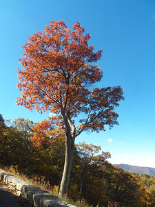 colorful oak tree at  Browntown Valley Overlook, Skyline Drive, Shenandoah National Park, October 16, 2015