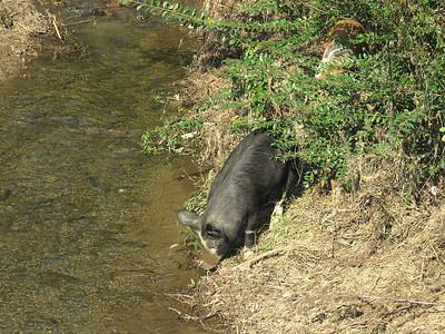 pigs, Peaks of Otter Winery