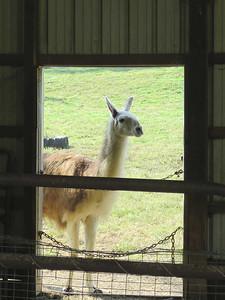 llama, Peaks of Otter Winery