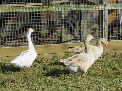 geese, Peaks of Otter Winery