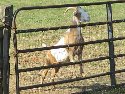 goat, Peaks of Otter Winery