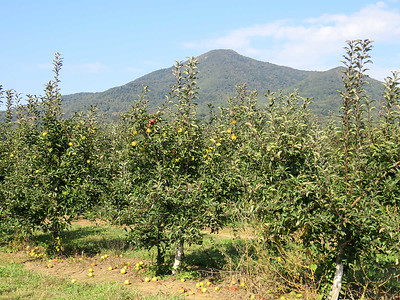 Apple trees, Peaks of Otter Winery/Johnson's Orchards