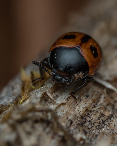 Beetle with two tiny hitchhikers.
