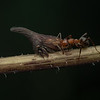 Ant tending thorn hopper