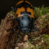 Pleasing fungus beetle eating.