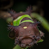 Saddleback caterpillar (stinging caterpillar.)