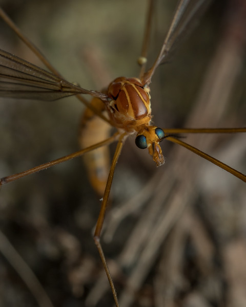 Crane fly laying eggs