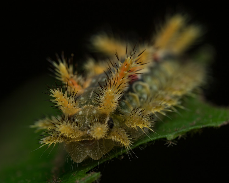 Caterpillar of Moth in Limacodidae family, Virginia