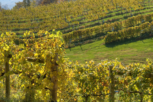 The thick grape vines begin to yellow in the fall at the Abingdon Vineyard and Winery in Abingdon, VA on Monday, October 27, 2014. Copyright 2014 Jason Barnette