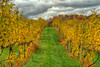 The vines begin to turn yellow along with the fall foliage at the Abingdon Vineyard and Winery in Abingdon, VA on Saturday, October 20, 2012. Copyright 2012 Jason Barnette