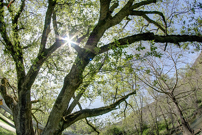 A massive tree provides a bit of shade along the Greenbelt Trail in Big Stone Gap, VA on Thursday, April 24, 2014. Copyright 2014 Jason Barnette