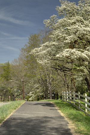 Beautiful blooming trees mark the coming of Spring along the Greenbelt Trail in Big Stone Gap, VA on Thursday, April 24, 2014. Copyright 2014 Jason Barnette
