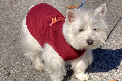 A little dog, also dressed for the game, makes her rounds through the Cassell Coliseum parking lot as the Virginia Tech University Hokies challenged the Duke University Blue Devils in football at Lane Stadium in Blacksburg, VA on Saturday, October 26, 2013. Copyright 2013 Jason Barnette