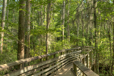 The wooden boardwalk along portions of the Bald Cypress Trail at First Landing State Park in Virginia Beach, VA on Wednesday, August 19, 2015. Copyright 2015 Jason Barnette