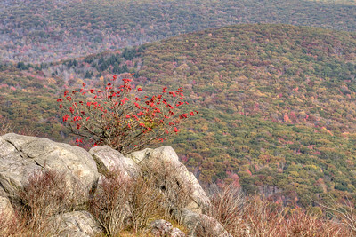 A lone bush grows on a rocky outcropping on Wilburn Ridge on the Appalachian Trail near Grayson Highlands State Park in Mouth of Wilson, VA on Tuesday, October 15, 2013. Copyright 2013 Jason Barnette  Wilburn Ridge sits along the Appalachian Trail about a mile from the northern edge of Grayson Highlands State Park. While the Appalachian Trail crosses the ridge, the Rhododendron Trail and Virginia Highlands Horse Trail move around the base of the ridge towards Thomas Knob.