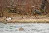 Herons nesting on the James