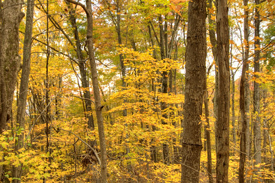 Brilliant yellow fall trees in Norton, VA on Saturday, October 25, 2014. Copyright 2014 Jason Barnette