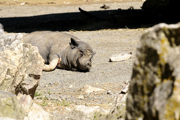 A sleeping hog at the Mill Mountain Zoo at Mill Mountain Park in Roanoke, VA on Friday, July 4, 2014. Copyright 2014 Jason Barnette